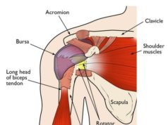 anatomical shoulder diagram